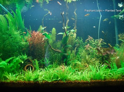 53 gallons planted tank (mostly live plants and fish) - my planted tank