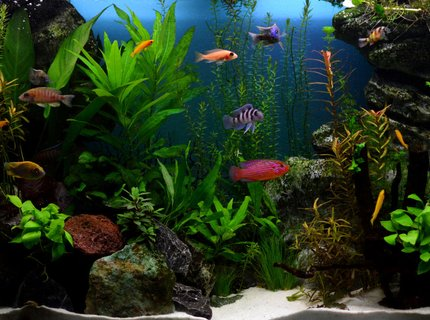 70 gallons planted tank (mostly live plants and fish) - Planted african cichlids tank