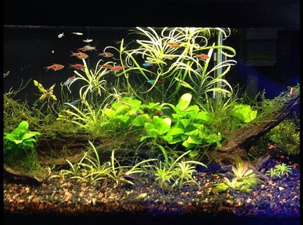 20 gallons planted tank (mostly live plants and fish) - 20 long with 11 espei rasboras, 9 neons, 5 emerald eye rasboras, 4 otto cats, and 7-10 cherry shrimp with plants.