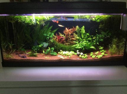 20 gallons planted tank (mostly live plants and fish) - My planted tank.