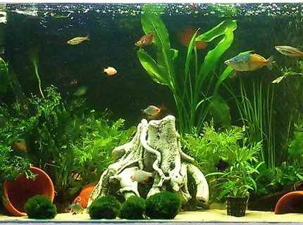 50 gallons planted tank (mostly live plants and fish) - My tank, live plants