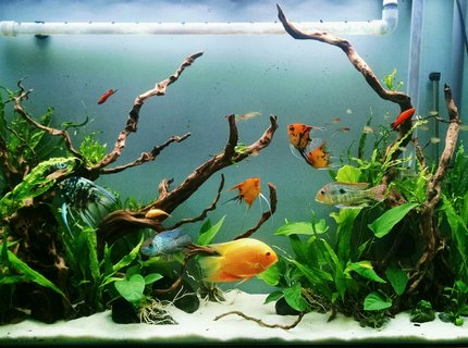 80 gallons planted tank (mostly live plants and fish) - 80 gallon SA community