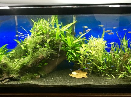 55 gallons planted tank (mostly live plants and fish) - 55 Gallon Planted