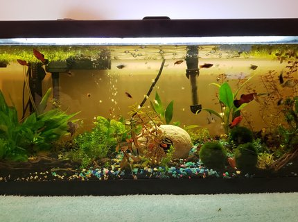 25 gallons planted tank (mostly live plants and fish) - Our 25 gallon community tank.