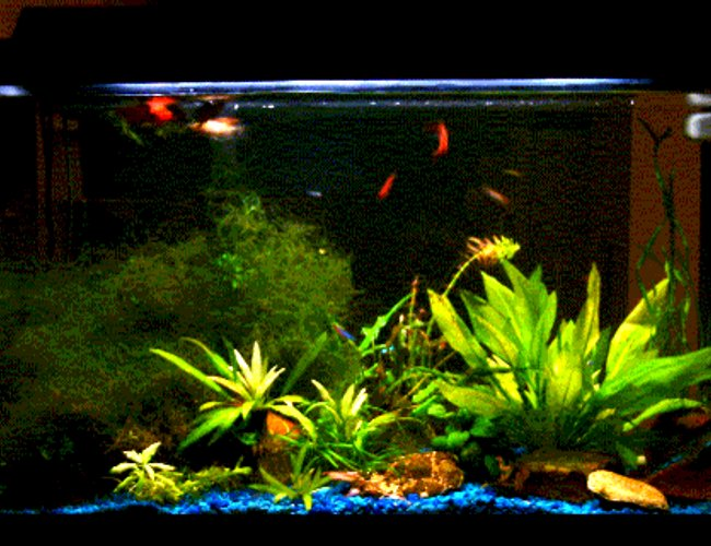 planted tank (mostly live plants and fish) - This isn't the best picture I took, but the available one at the moment. My 29G tank is on the kitchen counter and becomes the divider between kitchen and the TV/living area so I have no background.  It's a bit tricky to 'landscape' them as I should be able to see the beauty from both sides. Most of the plants (Java moss, java fern, amazon swords) have been there for months. I just added anubias nana, dwarf lily (not really shown in the picture) and also cork screws recently. I hope you like them. Please rate me (above 5 please ;P, otherwise don't rate me :-))
