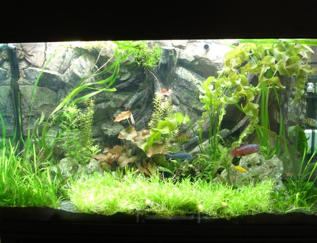 105 gallons planted tank (mostly live plants and fish) - My planted African cichlid tank