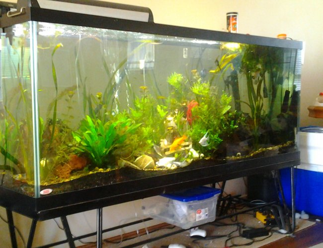 155 gallons planted tank (mostly live plants and fish) - 155 gallon sunken ship