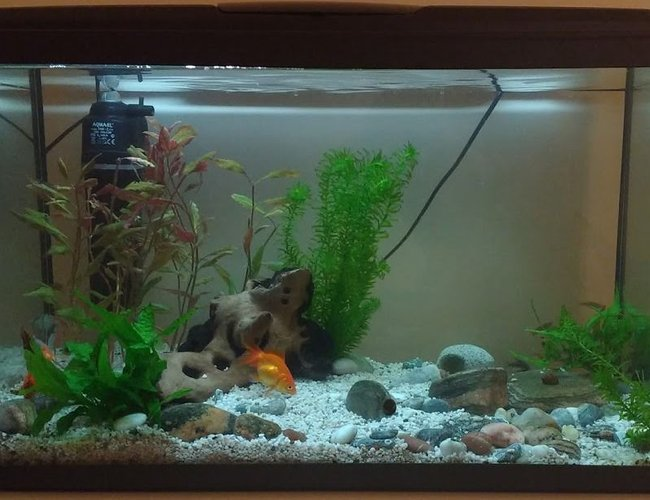 190 gallons planted tank (mostly live plants and fish) - 100 litre freshwater planted tank with bog wood, live plants and rocks. Current fish: Fancy Goldfish, hoplo catfish, glowlight danio, peppered corydora catfish, snails and shrimp.