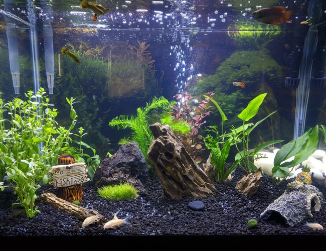 20 gallons planted tank (mostly live plants and fish) - 20G Tall - Gourami/Guppies/Cories