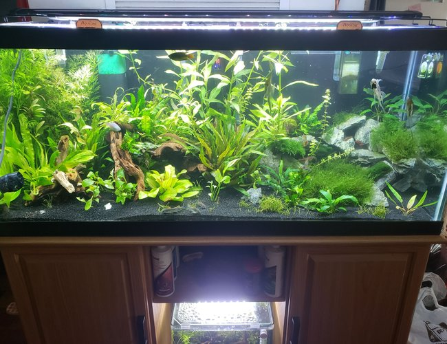 75 gallons planted tank (mostly live plants and fish) - 6 months old, made some changes, as added more driftwood in the left part of tank.