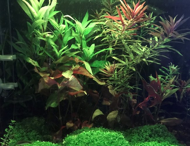 15 gallons planted tank (mostly live plants and fish) - My Tank