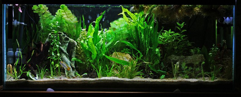 Rated #40: 20 Gallons Planted Tank - 100 litre tank, heavily planted primarily set up for 3 pairs of Apistogramma. Also home to pair of Ancistrus. Bog wood and plants all real - six caves, subtrate is a mix of aquarium sand and coral sand (to buffer).