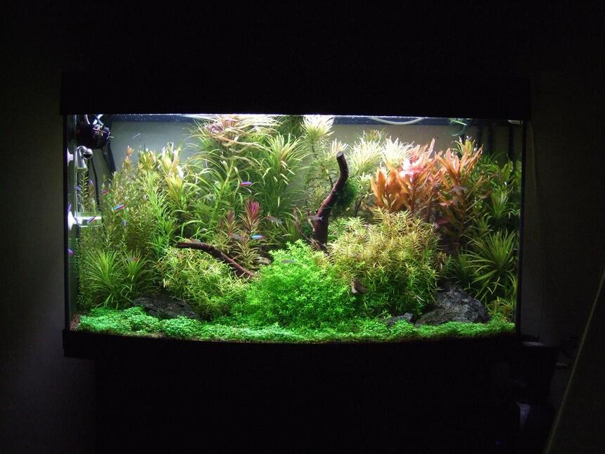 Rated #1: 40 Gallons Planted Tank - Fed up with the 'Nature' style of tanks I've set this more traditional European style, but with still keeping the Amano principals . Overall first results are excellent. Dry ferts are added daily