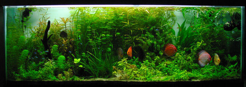 Rated #4: 135 Gallons Planted Tank - 135Gal planted discus and tetra tank on a 75gal sump