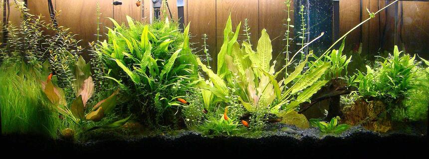 Rated #36: 55 Gallons Planted Tank - 55 gallon
