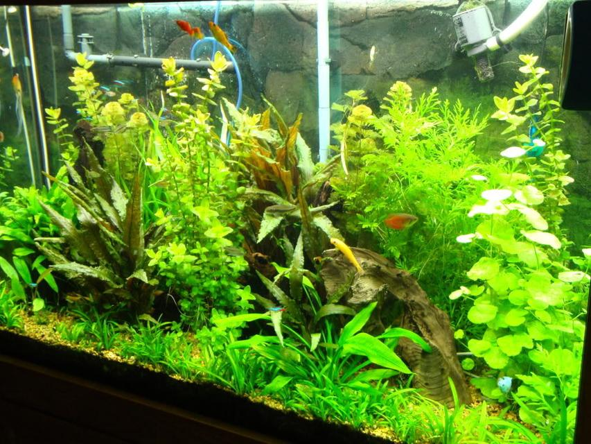 Rated #31: 110 Gallons Planted Tank - 110 gallon freshwater planted tank. CO2 at 35-40 ppm; 416 total watts CF lighting; Plants are mostly stem, no reds, foreground carpet is micro swords.