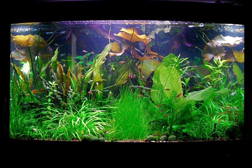 Rated #37: 50 Gallons Planted Tank - June 2010.. ever changing:)