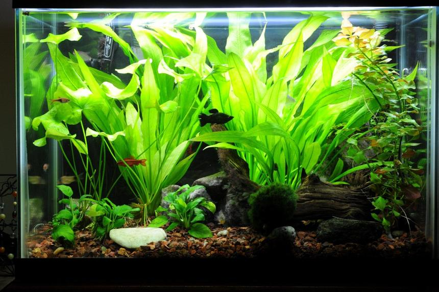 Rated #69: 20 Gallons Planted Tank - tank as of 6/30/10
