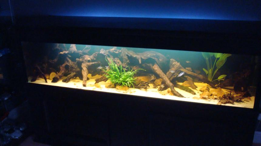 Rated #97: 120 Gallons Planted Tank - 7 foot amazon black water biotope 