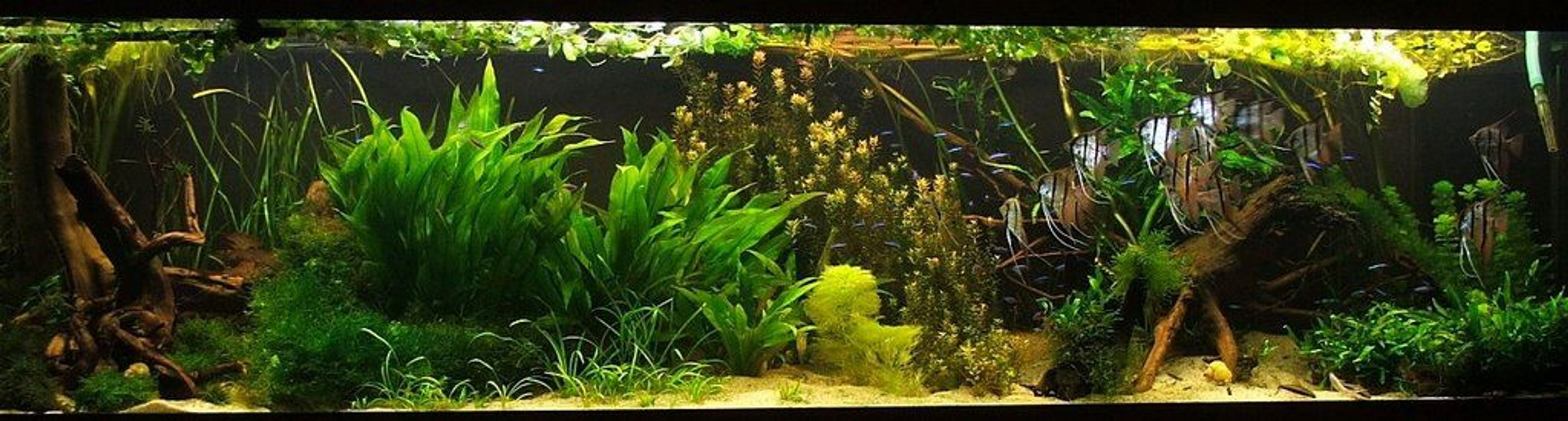 Rated #3: 422 Gallons Planted Tank - angelfish, discus, planted aquarium