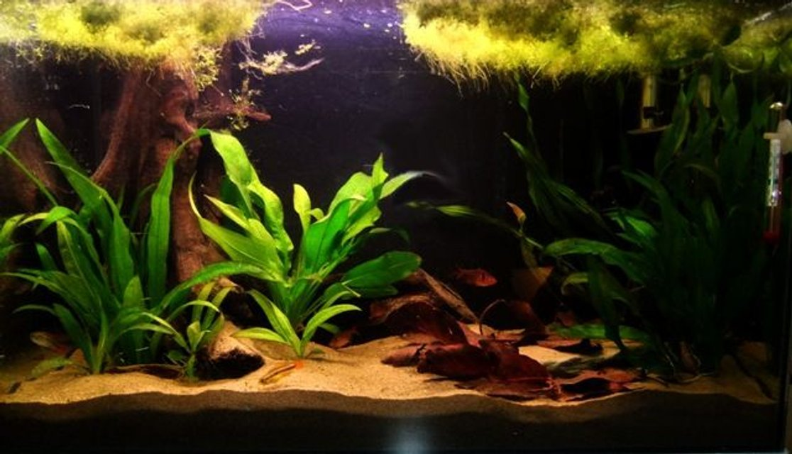 Rated #65: 55 Gallons Planted Tank - My 60cm Amazon Themed Tank