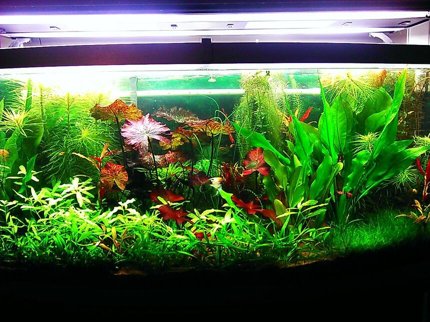 Rated #4: 72 Gallons Planted Tank - 72 gallon bow front planted aquarium