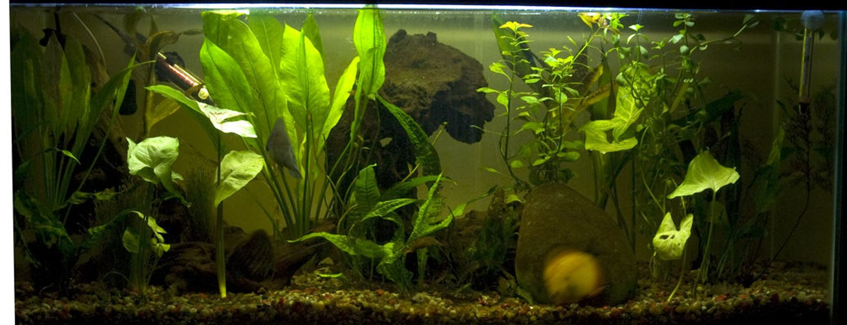 Rated #52: 30 Gallons Planted Tank - 30 Gal discus