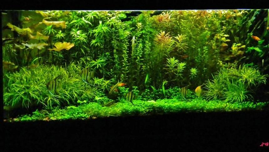 Rated #6: 77 Gallons Planted Tank - look for yourself....