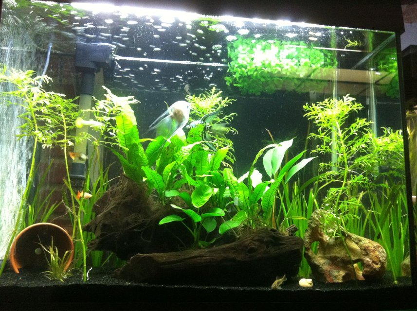 Rated #42: 38 Gallons Planted Tank - Low light plants, apistogramma pair, guppies, angelfish, corys, and ottos