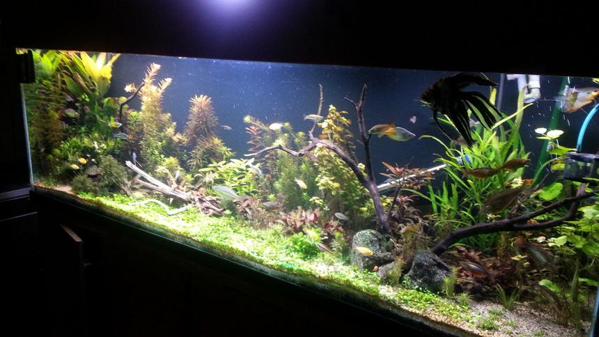 Rated #29: 135 Gallons Planted Tank - About 6 weeks along