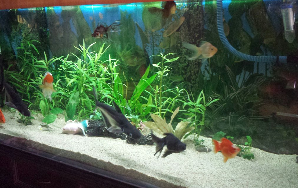 Rated #56: 100 Gallons Planted Tank - Planted tanks with goldfish.