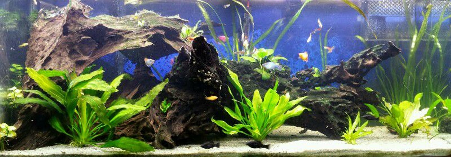 Rated #23: 75 Gallons Planted Tank - 75 Gallon semi-low tech planted tank