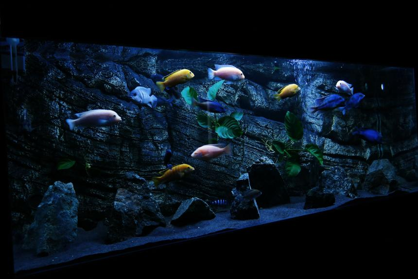 Rated #26: 450 Gallons Planted Tank - Malawi tank