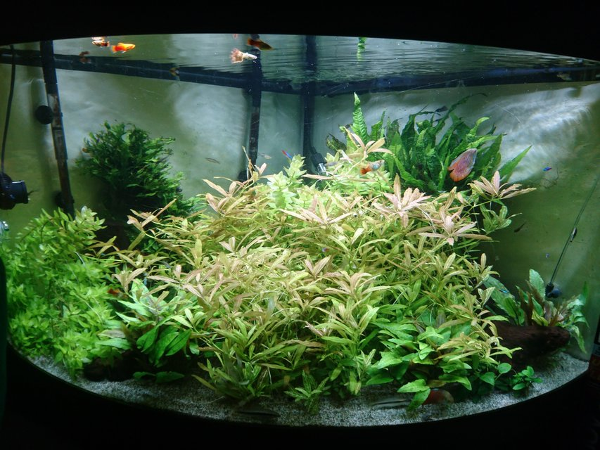 Rated #13: 92 Gallons Planted Tank - my overgrown jungle