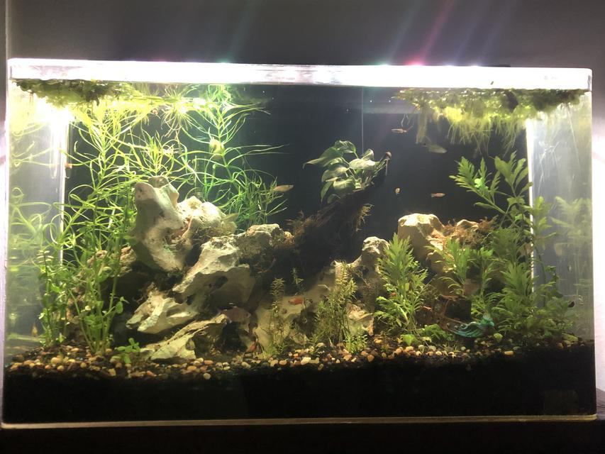 Rated #10: 65 Gallons Planted Tank - Freshwater community