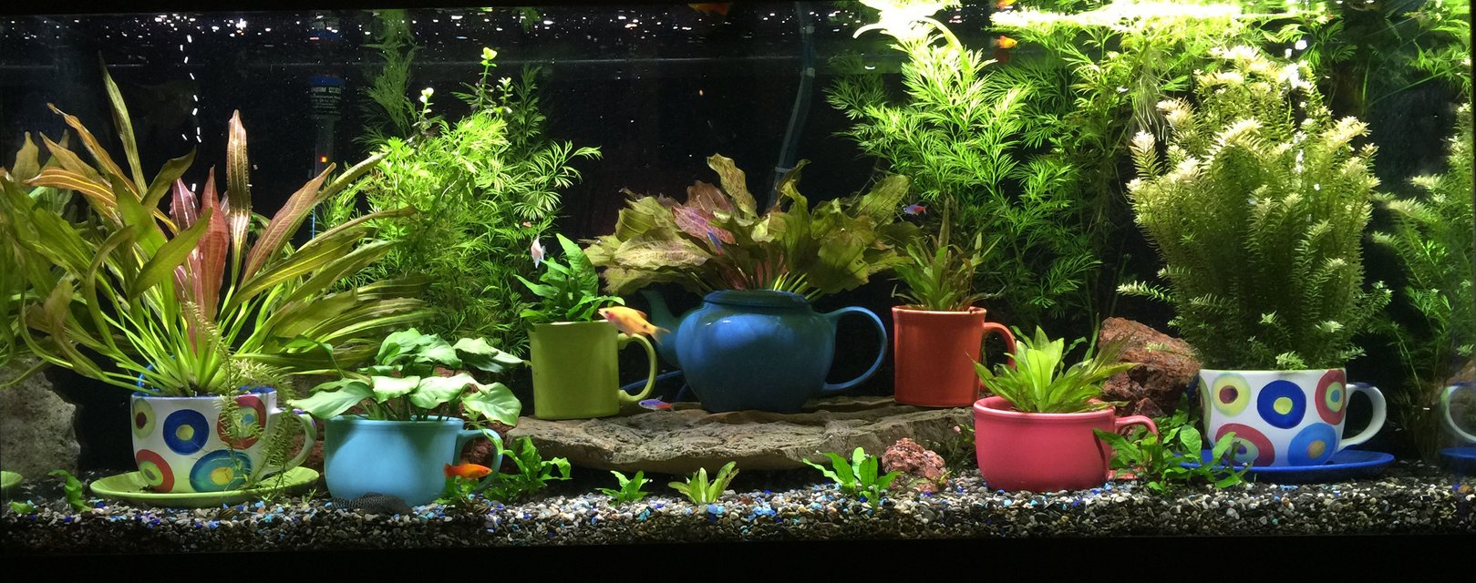 Rated #5: 72 Gallons Planted Tank - This is my 75-gallon freshwater planted aquarium. Located in my living room, on display next to my mug collection. It's been running for 8 months or so. Enjoy and thank you!
