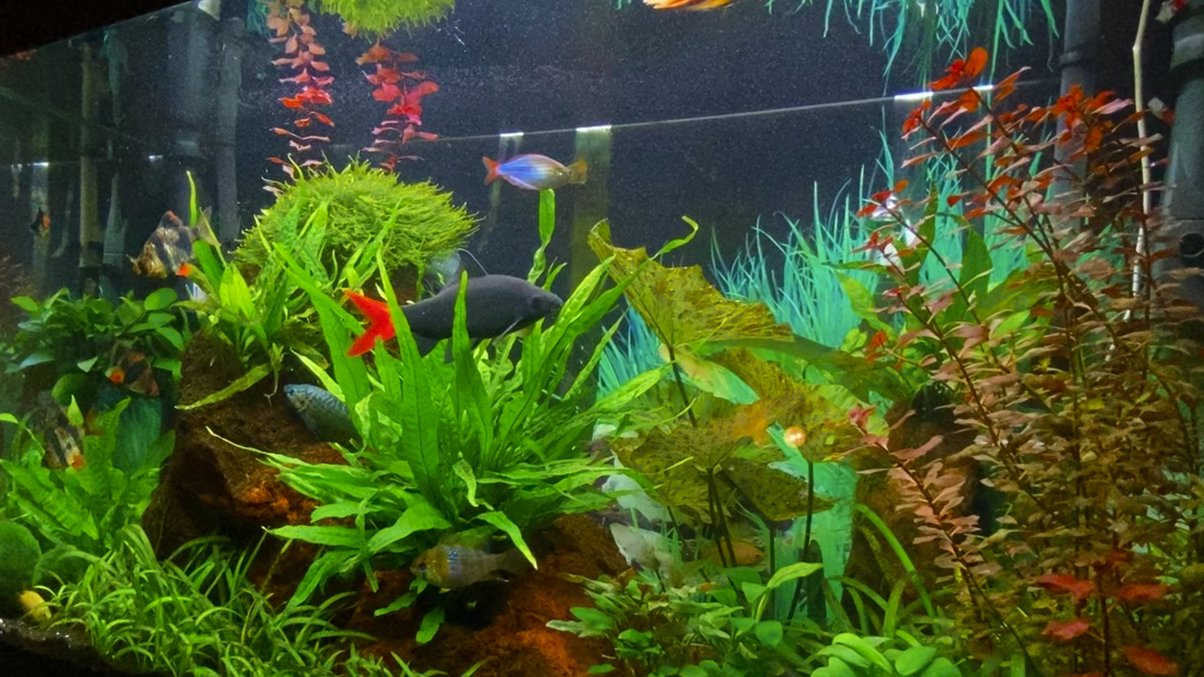 28 gallons planted tank (mostly live plants and fish) - Redtail shark is the boss...