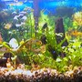 20 gallons planted tank (mostly live plants and fish) - planted discus/ram