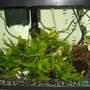 "75 gallons planted tank (mostly live plants and fish) - 29 Gallons Class ""N"" Black Bar Endlers Livebearers Java Fern"