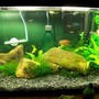 10 gallons planted tank (mostly live plants and fish) - This is my 10 gal freshwater tank. Three dwarf gouramis and four feeder guppies. Java moss and java ferns with other aquatic plants.