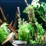 45 gallons planted tank (mostly live plants and fish) - 45 gallon all-natural planted tank with cardinal tetras.