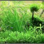 70 gallons planted tank (mostly live plants and fish) - Juwel Rio 300 Blue Ram Garden