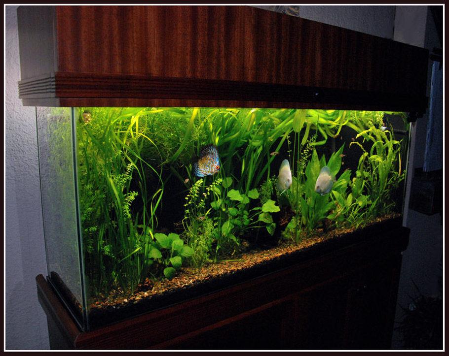 55 Gallon Planted Aquarium With Discus Fish Fluval 305 4