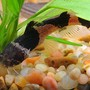 freshwater fish - pseudopimelodus raninus - bumble bee catfish stocking in 45 gallons tank - bumblebee catfish